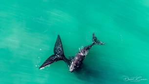 Southern Right Whale & Calf