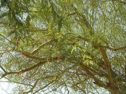 Palo verde de bajío. Excelente ramoneo de abril-mayo
