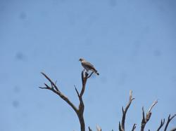 Aplomado, de las muchas aves depredaras de la Inmaculada