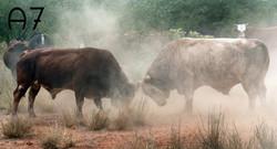 toros peleando.jpg