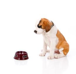 dog sits and waits staring at dog food dish