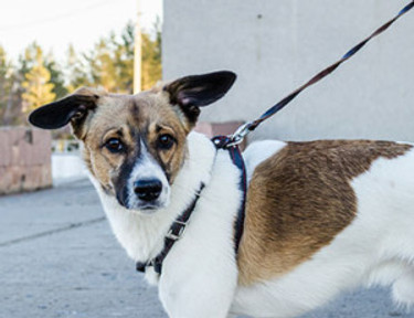 dog on leash wearing body harness