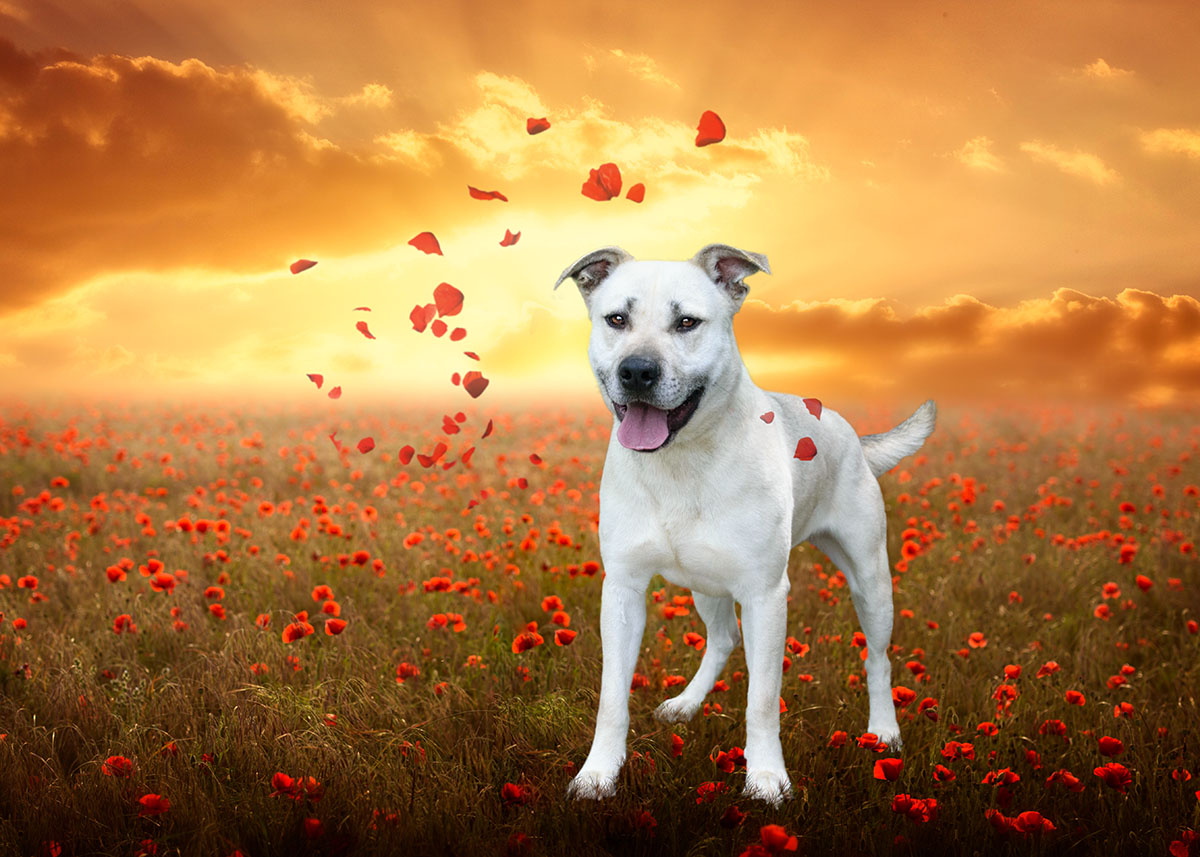 Casper in poppies