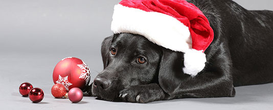 Labrador pup in Santa hat with Christmas ornaments