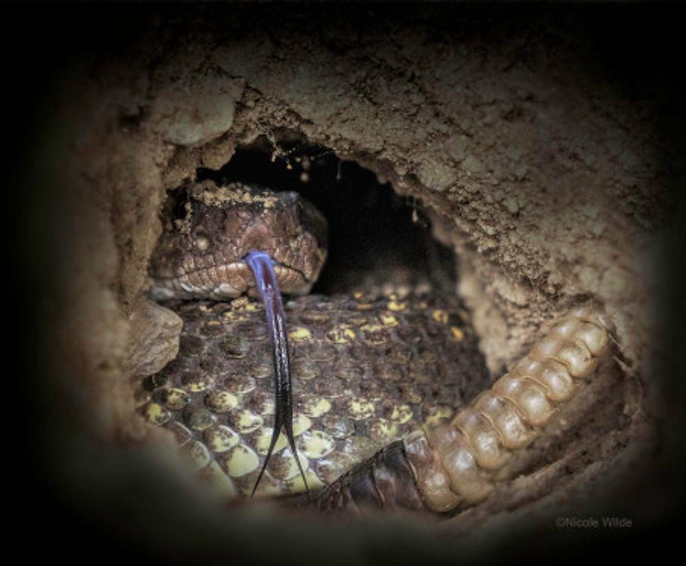rattlesnake in hole