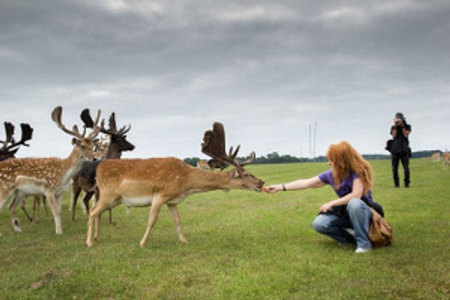wild deer in Ireland taking food from crouching woman