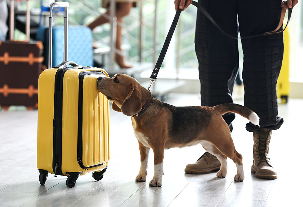a beagle sniffing luggage at the airport