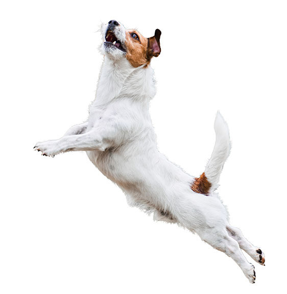 hyperactive dog jumping