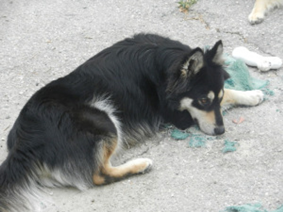 dog with torn up carpet