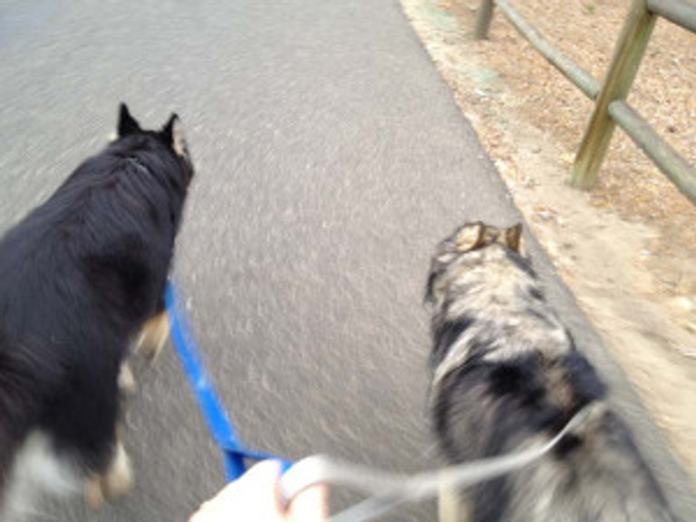 Two dogs on leash being walked