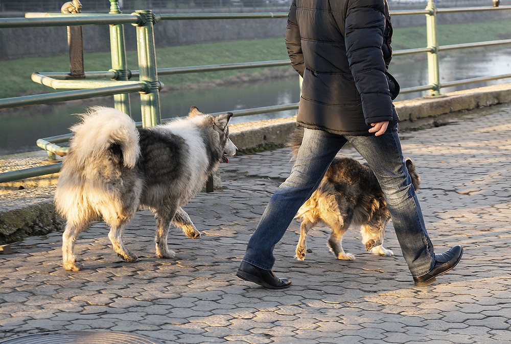 man walking dogs off leash