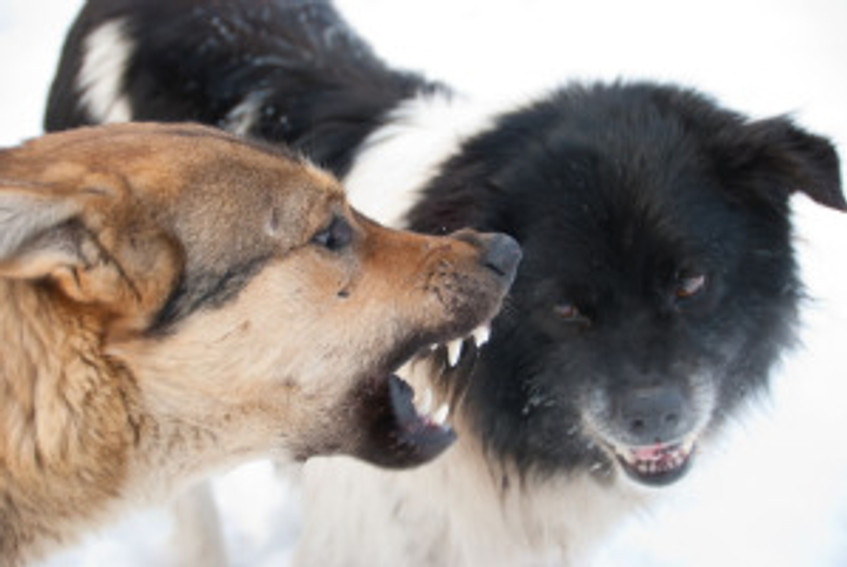 aggressive dog snarling at other dog