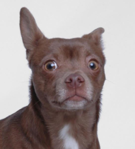 a brown Chihuahua displaying fearful body language