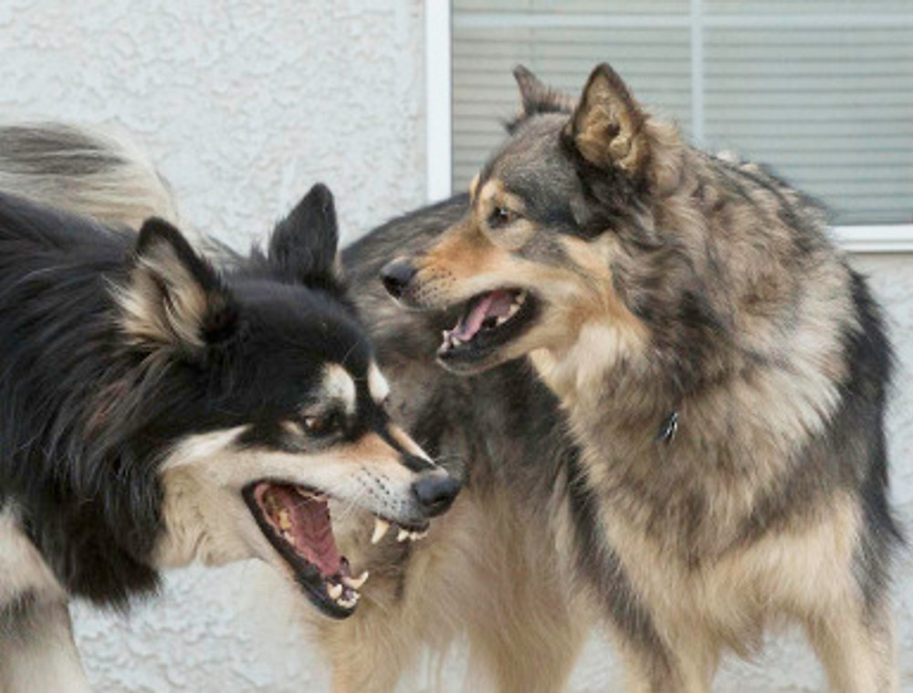 dogs showing teeth to each other potential fight