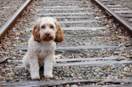 lost dog sitting on railroad tracks looking at camera