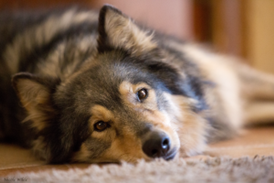 dog lying gazing lovingly