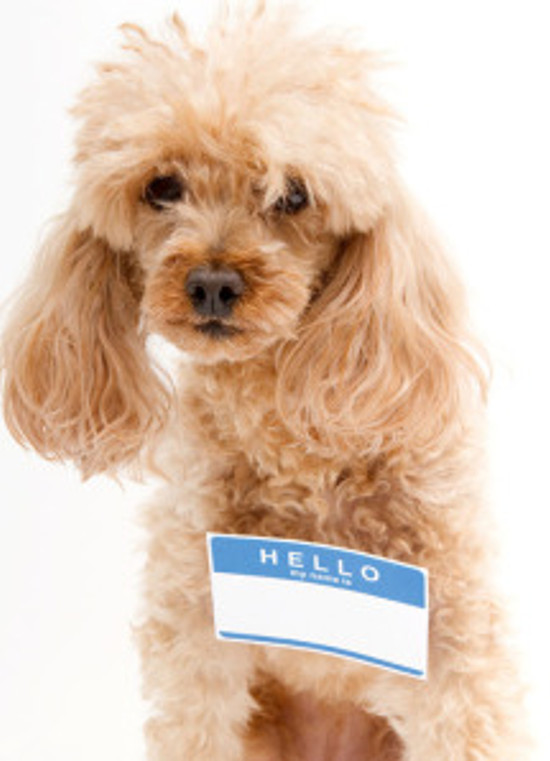 cute fluffy poodle with Hello name tag