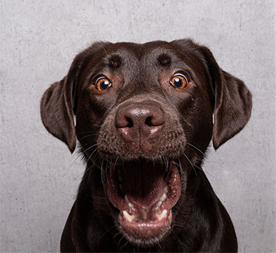 chocolate Lab dog with open mouth and wide eyes looking surprised