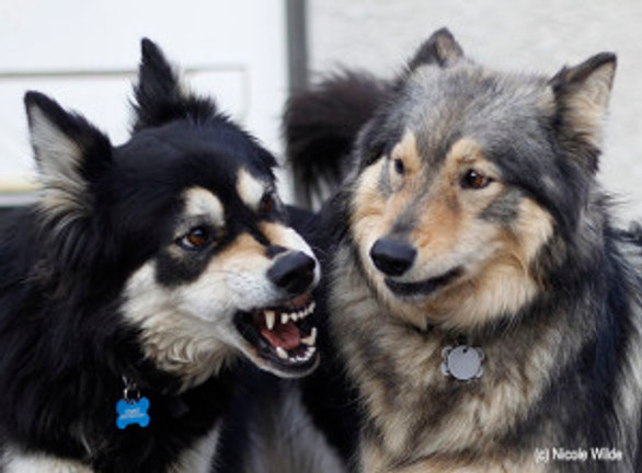 dog growling and showing teeth to another dog