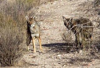 two coyotes staring at camera