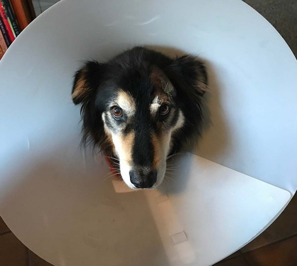 dog wearing cone