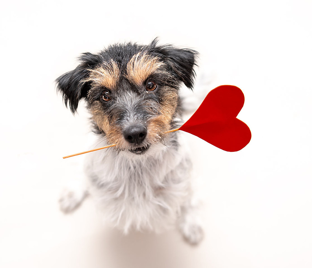 dog holding paper heart on stick in mouth