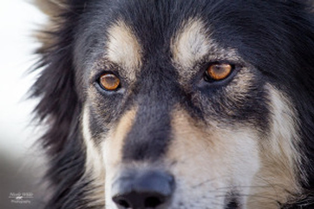 closeup of handsome male dog face golden eyes