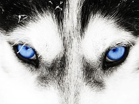 So You Think You Want a Husky?