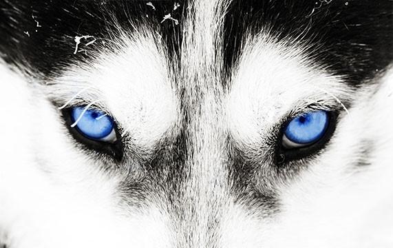 closeup of eyes of a Siberian Husky