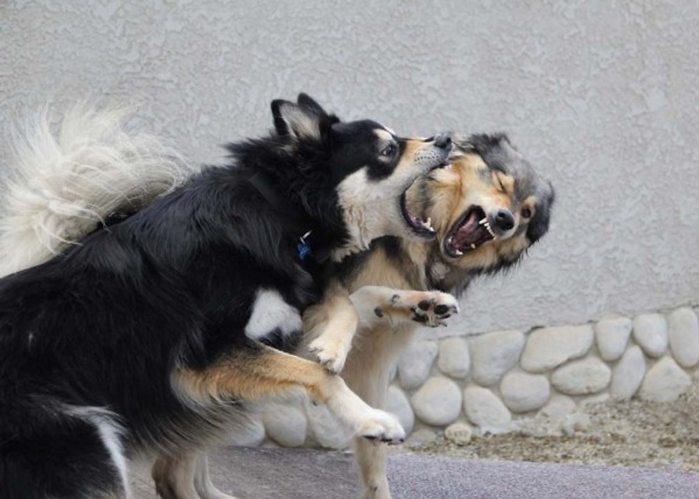 dogs playing roughly