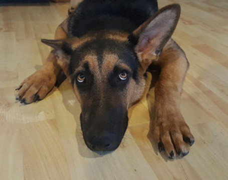 a German shepherd who appears to display fear or learned helplessness