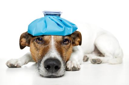 dog with headache ice bag on head