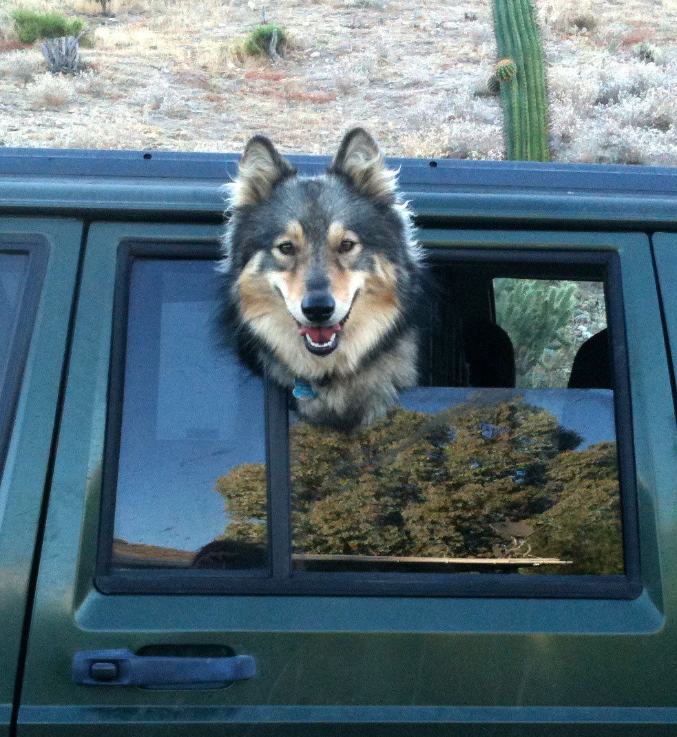dog smiling with head hanging out Jeep window