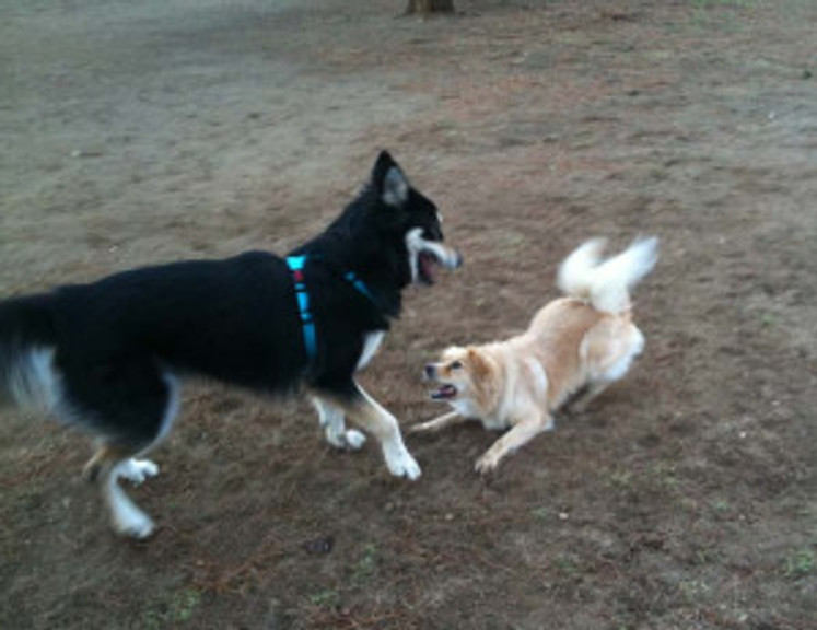 two dogs playing