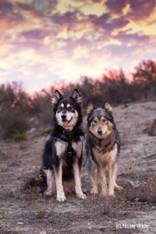 two northern breed dogs pose on hillside in sunset