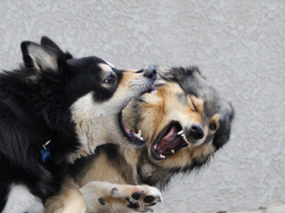 Two dogs with mouths open showing teeth in play or aggression