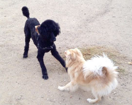 Two dogs play bowing to each other
