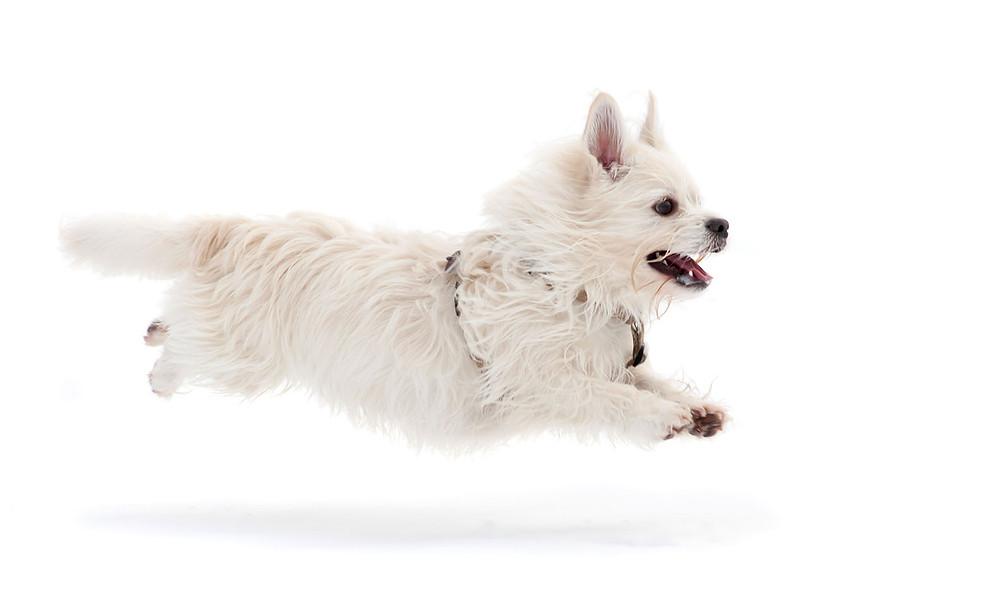 West Highland Terrier dog running