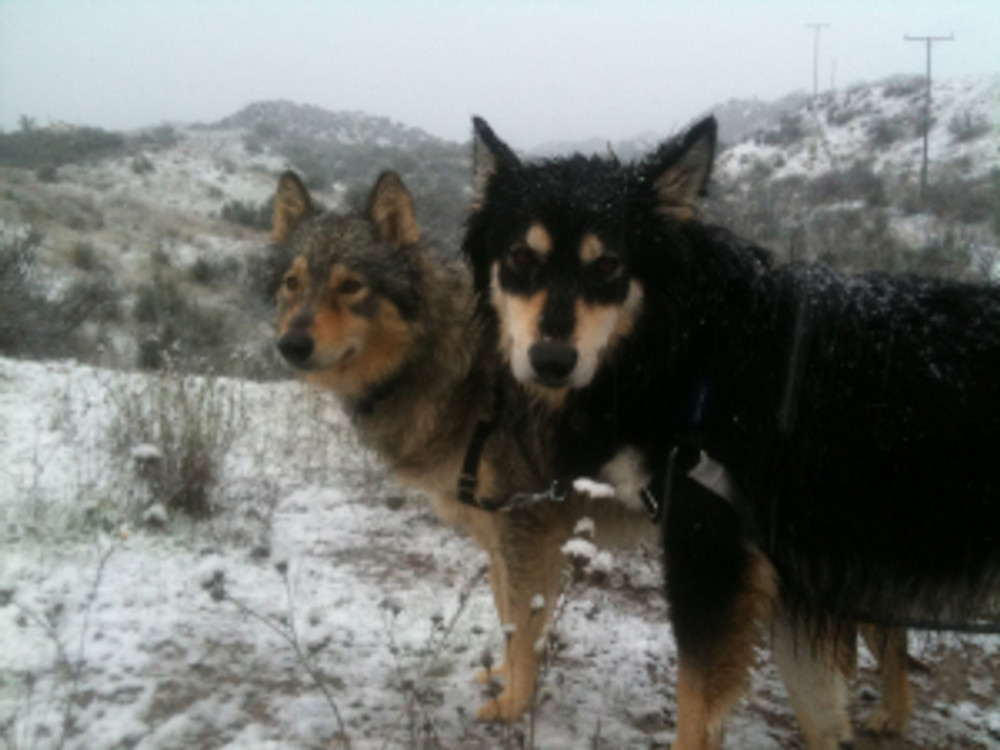 two northern breed dogs in snow