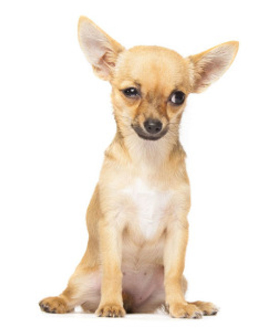Young chihuahua looking unsure