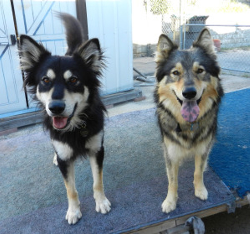 two happy, smiling dogs standing side by side