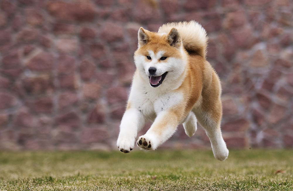 Akita running at park