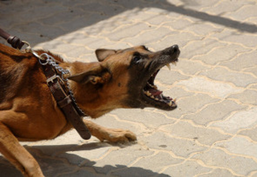 aggressive dog on leash malinois