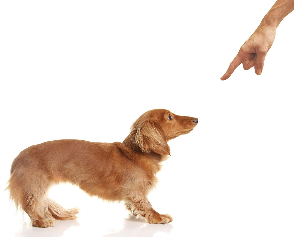 dachshund being reprimanded by human