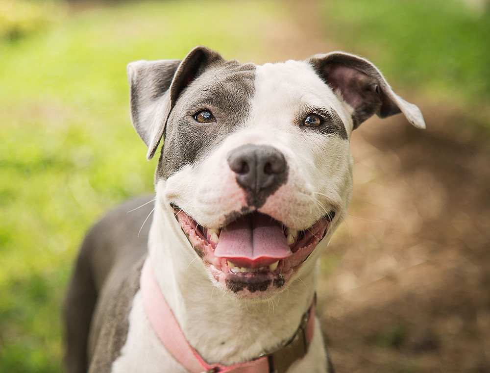 closeup of a pit bull smiling happy face
