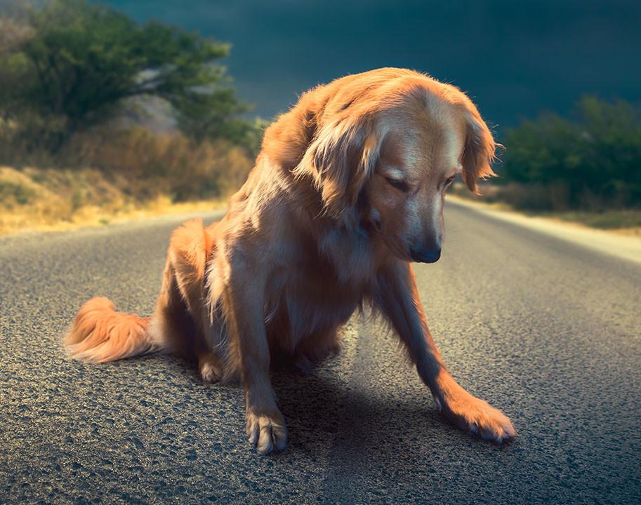 sad Golden retriever sitting in road
