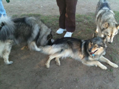 dog lying down with two dogs standing