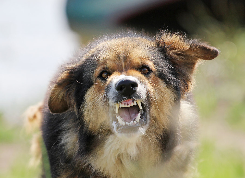dog showing his teeth aggressively