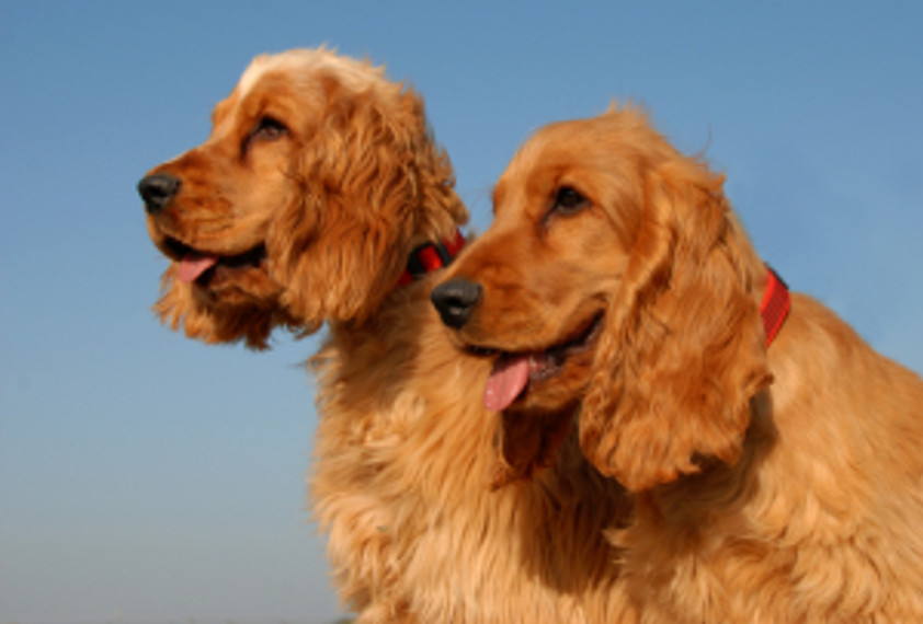 Side view of two happy red dogs who appear to be smiling