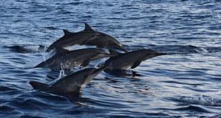 Avez-vous rêvé de voir des dauphins dans la mer? L'aventure vous attend depuis la plage. de Puerto Angelito. Embarquez sur un bateau de dix places et sortez à la rencontre des dauphins, des baleines (entre novembre et mars) et des tortues. Vous pouvez même nager avec eux si vous en avez envie.